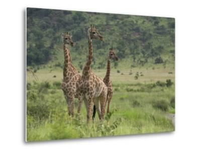 Three Giraffes, Pilanesberg Game Reserve, North West Province, South Africa, Africa-Ann & Steve Toon-Metal Print