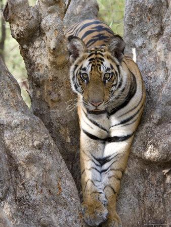 Indian Tiger (Bengal Tiger) (Panthera Tigris Tigris), Bandhavgarh National Park, India-Thorsten Milse-Framed Photographic Print