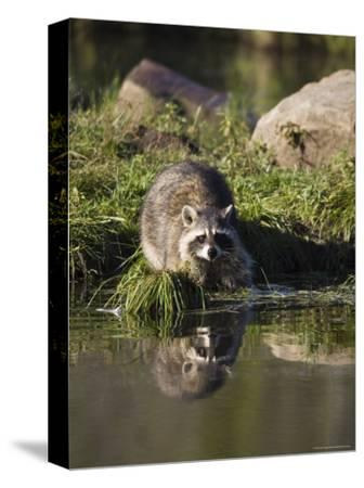 Raccoon (Racoon) (Procyon Lotor) at Waters Edge with Reflection, in Captivity, Minnesota, USA-James Hager-Stretched Canvas Print
