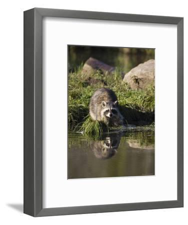 Raccoon (Racoon) (Procyon Lotor) at Waters Edge with Reflection, in Captivity, Minnesota, USA-James Hager-Framed Photographic Print