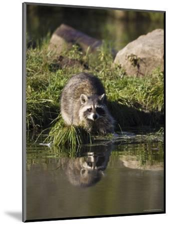 Raccoon (Racoon) (Procyon Lotor) at Waters Edge with Reflection, in Captivity, Minnesota, USA-James Hager-Mounted Photographic Print