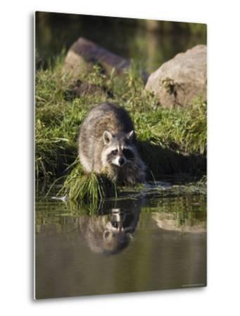 Raccoon (Racoon) (Procyon Lotor) at Waters Edge with Reflection, in Captivity, Minnesota, USA-James Hager-Metal Print