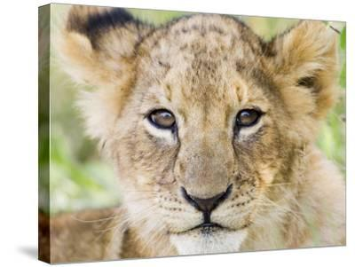 Head on Shot of Lion Cub Looking at Camera, Masai Mara Game Reserve, Kenya, East Africa, Africa-James Hager-Stretched Canvas Print