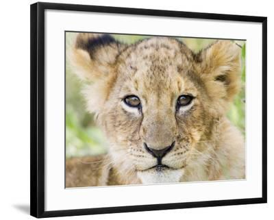 Head on Shot of Lion Cub Looking at Camera, Masai Mara Game Reserve, Kenya, East Africa, Africa-James Hager-Framed Photographic Print
