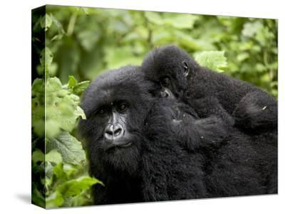 Adult Female Mountain Gorilla with Infant Riding on Her Back, Amahoro a Group, Rwanda, Africa-James Hager-Stretched Canvas Print
