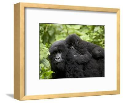 Adult Female Mountain Gorilla with Infant Riding on Her Back, Amahoro a Group, Rwanda, Africa-James Hager-Framed Photographic Print
