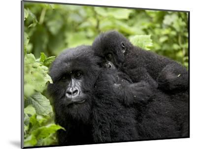 Adult Female Mountain Gorilla with Infant Riding on Her Back, Amahoro a Group, Rwanda, Africa-James Hager-Mounted Photographic Print