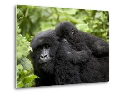 Adult Female Mountain Gorilla with Infant Riding on Her Back, Amahoro a Group, Rwanda, Africa-James Hager-Metal Print