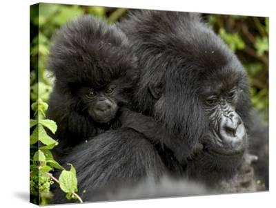 Infant Mountain Gorilla Clinging to Its Mother's Neck, Amahoro a Group, Rwanda, Africa-James Hager-Stretched Canvas Print
