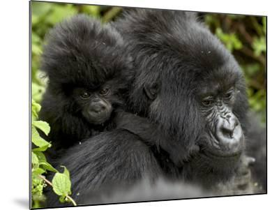 Infant Mountain Gorilla Clinging to Its Mother's Neck, Amahoro a Group, Rwanda, Africa-James Hager-Mounted Photographic Print