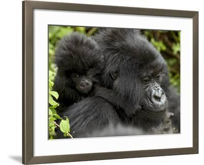 Infant Mountain Gorilla Clinging to Its Mother's Neck, Amahoro a Group, Rwanda, Africa-James Hager-Framed Photographic Print