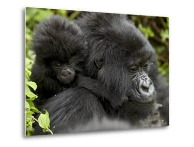 Infant Mountain Gorilla Clinging to Its Mother's Neck, Amahoro a Group, Rwanda, Africa-James Hager-Metal Print