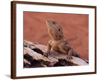 Central Bearded Dragon in Captivity, Alice Springs, Northern Territory, Australia, Pacific-James Hager-Framed Photographic Print