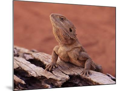 Central Bearded Dragon in Captivity, Alice Springs, Northern Territory, Australia, Pacific-James Hager-Mounted Photographic Print