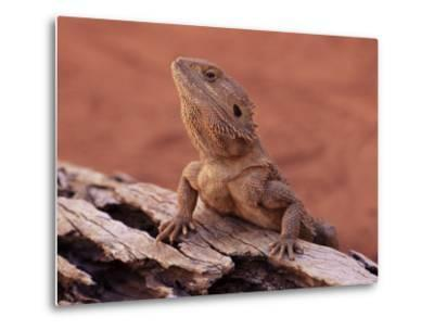 Central Bearded Dragon in Captivity, Alice Springs, Northern Territory, Australia, Pacific-James Hager-Metal Print