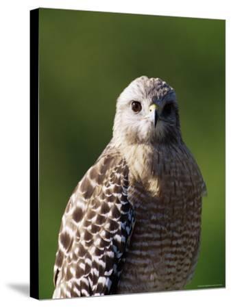 "Red-Shouldered Hawk (Buteo Lineatus), J. N. ""Ding"" Darling National Wildlife Refuge, Florida-James Hager-Stretched Canvas Print"