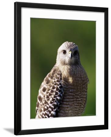 """Red-Shouldered Hawk (Buteo Lineatus), J. N. """"Ding"""" Darling National Wildlife Refuge, Florida-James Hager-Framed Photographic Print"""