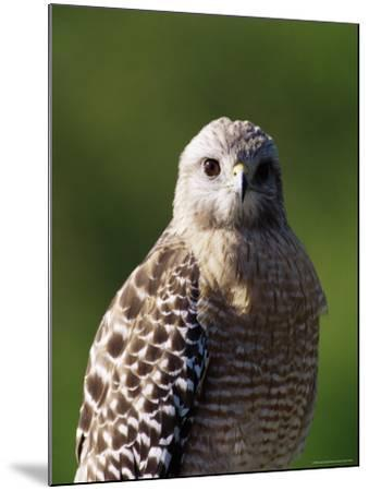 """Red-Shouldered Hawk (Buteo Lineatus), J. N. """"Ding"""" Darling National Wildlife Refuge, Florida-James Hager-Mounted Photographic Print"""