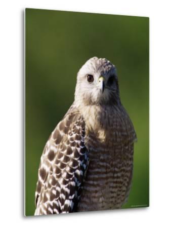 "Red-Shouldered Hawk (Buteo Lineatus), J. N. ""Ding"" Darling National Wildlife Refuge, Florida-James Hager-Metal Print"