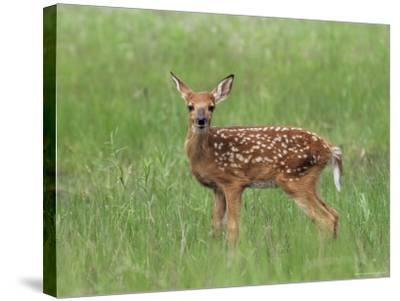 Whitetail Deer Fawn (Odocileus Virginianus), 21 Days Old, in Captivity, Minnesota, USA-James Hager-Stretched Canvas Print