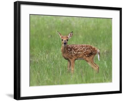 Whitetail Deer Fawn (Odocileus Virginianus), 21 Days Old, in Captivity, Minnesota, USA-James Hager-Framed Photographic Print