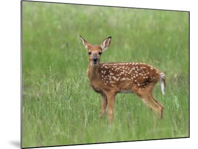 Whitetail Deer Fawn (Odocileus Virginianus), 21 Days Old, in Captivity, Minnesota, USA-James Hager-Mounted Photographic Print