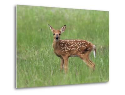Whitetail Deer Fawn (Odocileus Virginianus), 21 Days Old, in Captivity, Minnesota, USA-James Hager-Metal Print