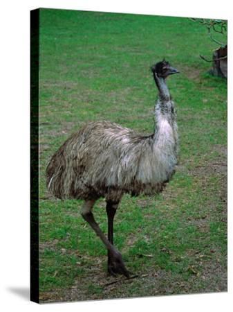 Emu Portrait, Australia-Charles Sleicher-Stretched Canvas Print