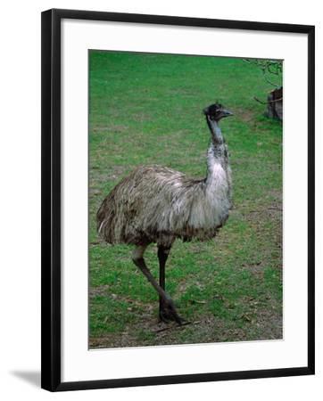 Emu Portrait, Australia-Charles Sleicher-Framed Photographic Print
