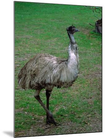 Emu Portrait, Australia-Charles Sleicher-Mounted Photographic Print