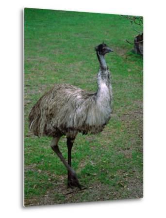 Emu Portrait, Australia-Charles Sleicher-Metal Print
