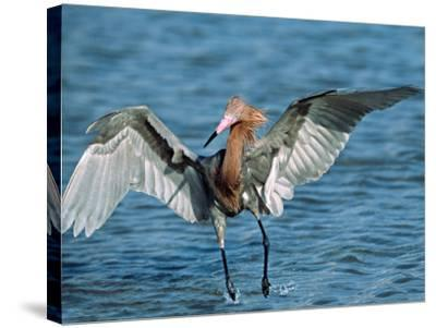 Reddish Egret Fishing in Shallow Water, Ding Darling NWR, Sanibel Island, Florida, USA-Charles Sleicher-Stretched Canvas Print