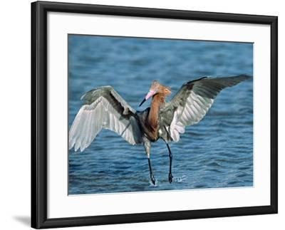Reddish Egret Fishing in Shallow Water, Ding Darling NWR, Sanibel Island, Florida, USA-Charles Sleicher-Framed Photographic Print