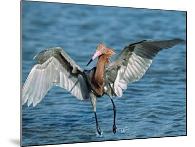 Reddish Egret Fishing in Shallow Water, Ding Darling NWR, Sanibel Island, Florida, USA-Charles Sleicher-Mounted Photographic Print