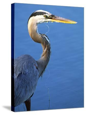 Doomed Great Blue Heron, Venice, Florida, USA-Charles Sleicher-Stretched Canvas Print