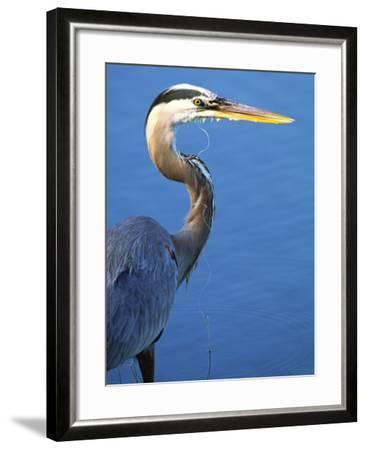 Doomed Great Blue Heron, Venice, Florida, USA-Charles Sleicher-Framed Photographic Print
