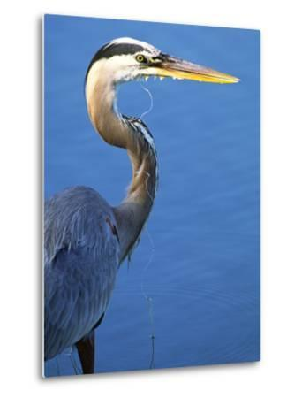 Doomed Great Blue Heron, Venice, Florida, USA-Charles Sleicher-Metal Print