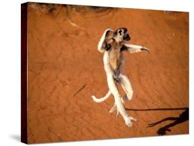 Verreaux's Sifaka, Berenty, Madagascar-Pete Oxford-Stretched Canvas Print