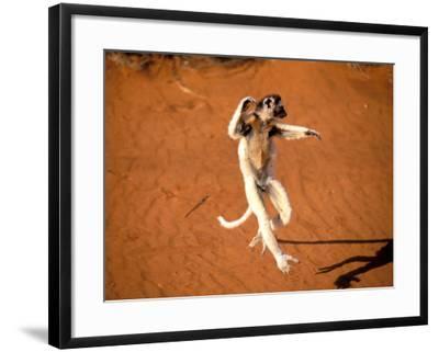 Verreaux's Sifaka, Berenty, Madagascar-Pete Oxford-Framed Photographic Print