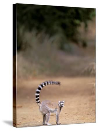 Ring-tailed Lemur, Berenty Reserve, Madagascar-Pete Oxford-Stretched Canvas Print