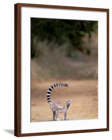 Ring-tailed Lemur, Berenty Reserve, Madagascar-Pete Oxford-Framed Photographic Print