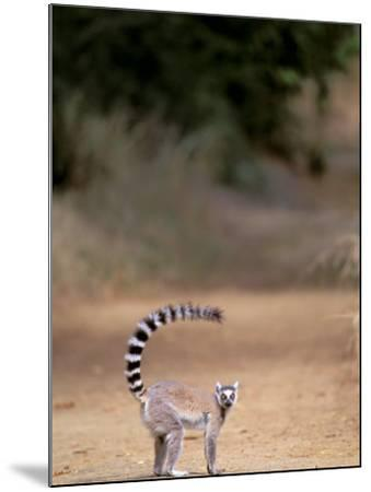 Ring-tailed Lemur, Berenty Reserve, Madagascar-Pete Oxford-Mounted Photographic Print