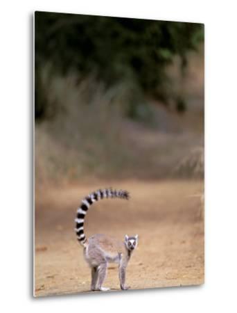 Ring-tailed Lemur, Berenty Reserve, Madagascar-Pete Oxford-Metal Print