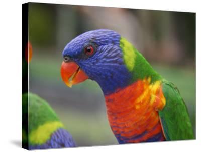 Rainbow Lorikeet, Australia-David Wall-Stretched Canvas Print