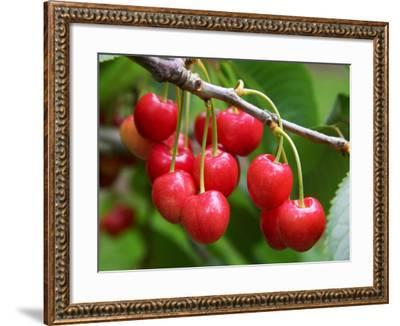 Cherries, Orchard near Cromwell, Central Otago, South Island, New Zealand-David Wall-Framed Photographic Print