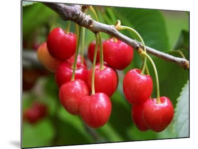 Cherries, Orchard near Cromwell, Central Otago, South Island, New Zealand-David Wall-Mounted Photographic Print