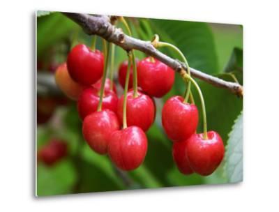 Cherries, Orchard near Cromwell, Central Otago, South Island, New Zealand-David Wall-Metal Print