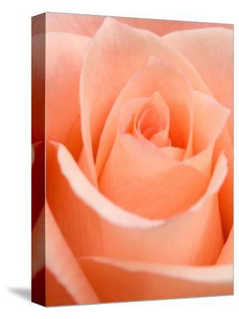 Rose-Jamie & Judy Wild-Stretched Canvas Print