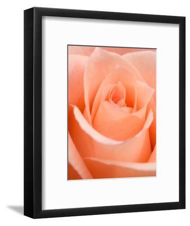 Rose-Jamie & Judy Wild-Framed Photographic Print