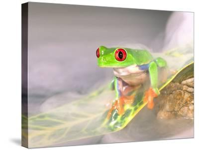 Red Eye Tree Frog in the Mist, Native to Central America-David Northcott-Stretched Canvas Print